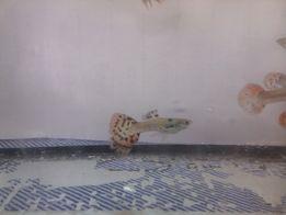 Gupik Red Cobra (Poecilia reticulata) ŁADNIE WYBARWIONE!!!