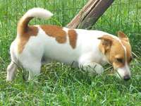 Image of Jack Russell male