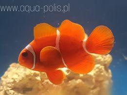Premnas biaculeatus Akwarium morskie