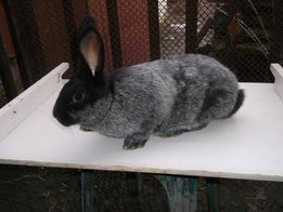 продам кролей полтавское серебро от 1,5 месяцев