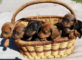 Miniature Dachshund/worsies/worshondjies for sale!