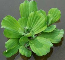 Пистия - аквариумные растения