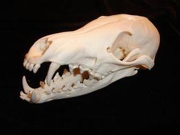 череп лисы, лисицы