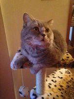 Вязка шотландского кота. Скоттиш страйт ждет милых дам)