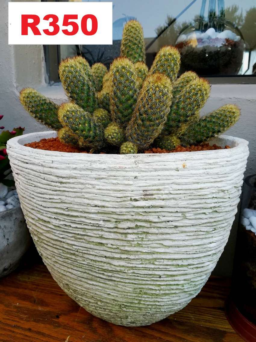 Stunning choice of potted plants for sale . Bloubergsands