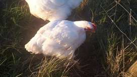 Broilers chickens for sale