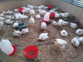 Live broiler chickens for sale @ R60each