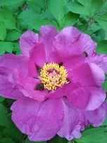 Древовидный пион,цена за куст с цветком