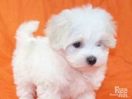 Looking for miniature Maltese