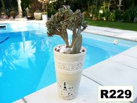 Stunning choice of potted plants for sale . Pg 9. Bloubergsands