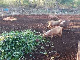 Pigs available R600 each