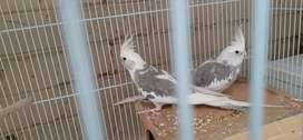 Pied male and female cockatiel for sale