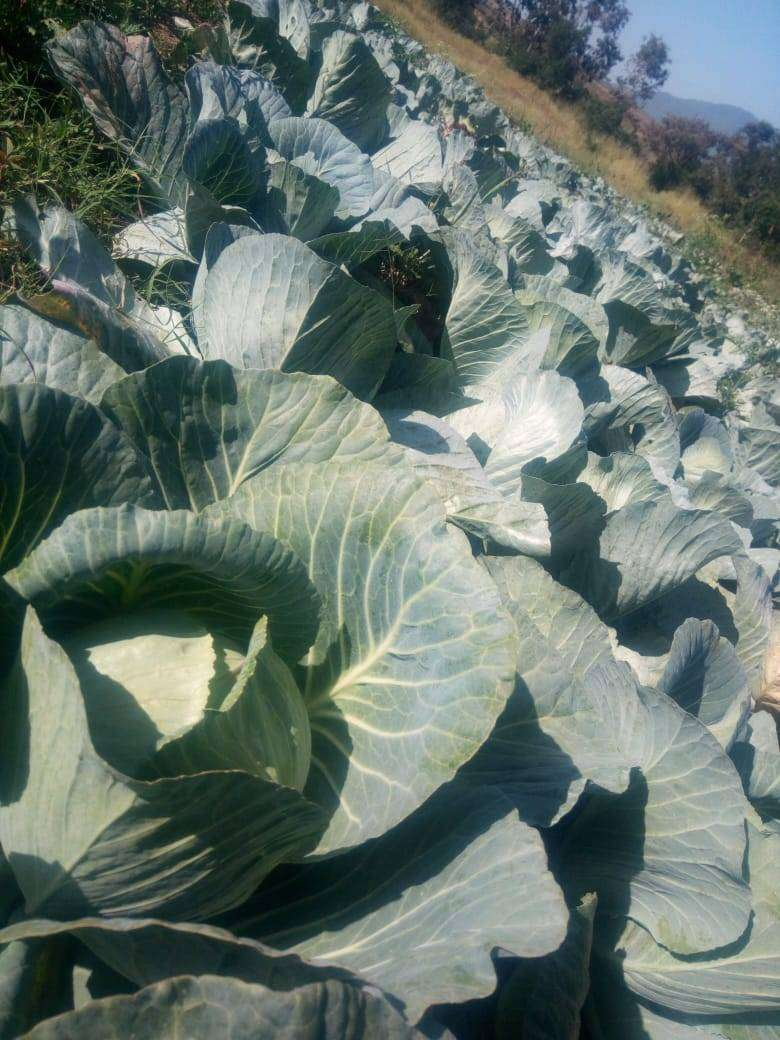 Cabbages 0