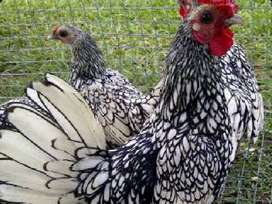 Beautiful Sebright bantams