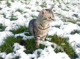 Кот Скоттиш страйт для вязки