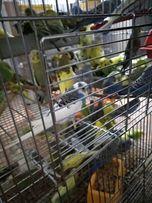 Волнистые попугаи опт и в розница.