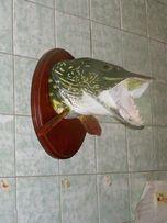 Чучело или трофейная голова рыбы на заказ