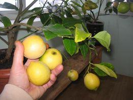 саджанцы лимон