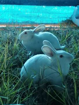 New Zealand White rabbits