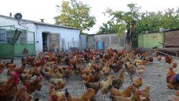 Яйцо инкубационное Цыплята породы Кучинская Юбилейная