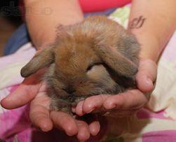 Элитные вислоухие карликовые кролики МИНИ баранчики