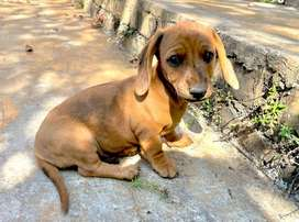 Beautiful miniature Dachshund puppies