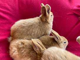 New Zealand Red rabbits