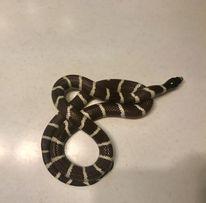 Калифорнийская королевская змея не ядовитая