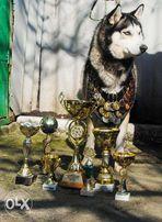 Сибирский хаски Чемпион для вязки