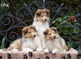 КОЛЛИ щенки всех окрасов в питомнике OLD GOLDEN GATES