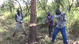 Зрізання дерев Резка деревъев срезание дерева чистка кустарники різка