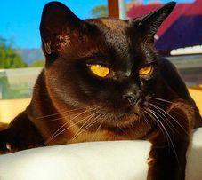 Бурманское котосчастье. Бурма