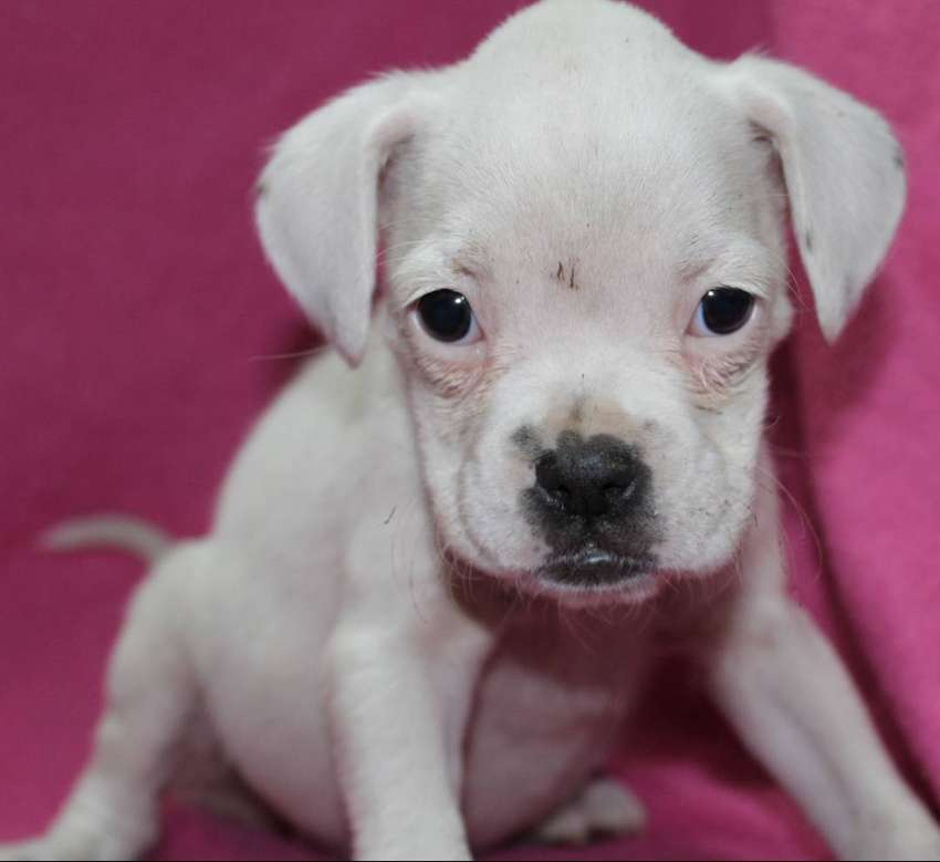 Most Adorable Boxer puppies 0