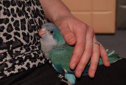 Продам птенчиков попугая калита-монах синий