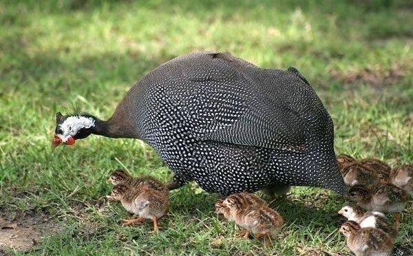 Цыплята цесарки (бройлерная, Загорская белогрудая) Подгорцы - изображение 3
