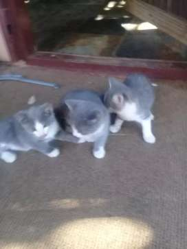 Kittens 8 weeks old
