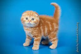 Красный шотландский прямоухий малыш Сапфир.