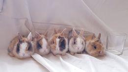 Malutkie Maleństwa Królik króliki miniaturka miniaturki 300 gram