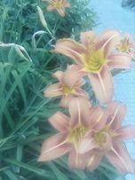 Продам садовую лилию кустовую