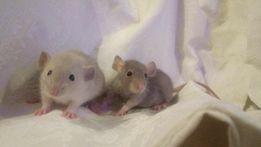 Крысята дамбо, крысы , декоративные крысята