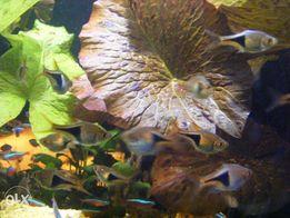GB razbora klinowa (rozbora) ryba akwariowa