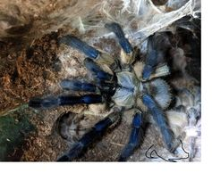 Monocentropus balfouri малыши паука птицееда