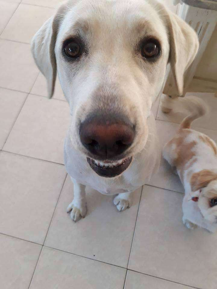 Female labrador looking for a home