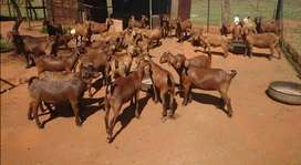 Kalahari Red Goats Weaners with Few Boer Goats ready for new home