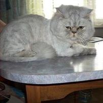 Стрижка котов на дому