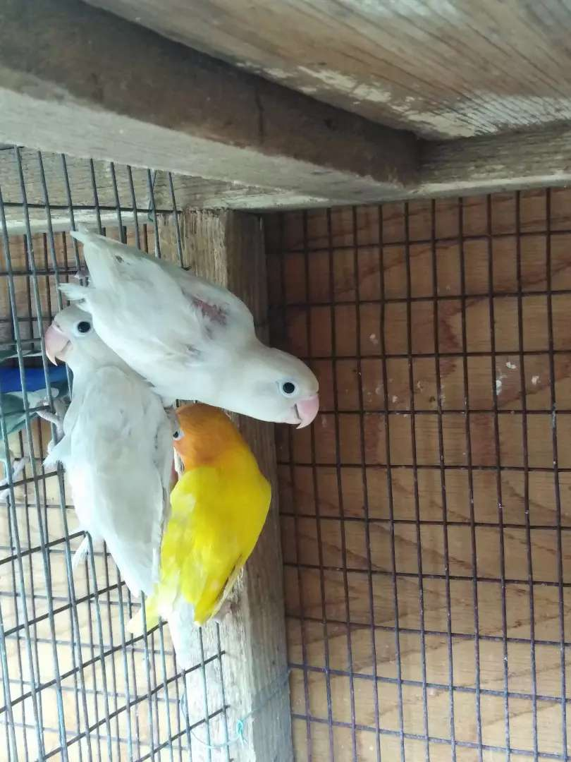 Love birds for sale 0