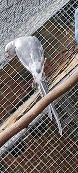Ringneck Pieds For Sale