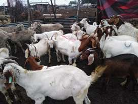 Sheep, Goats, Cows and African Chickens for sale