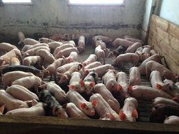Продам поросят мясной породы Хермитаж. Хорошая генетика