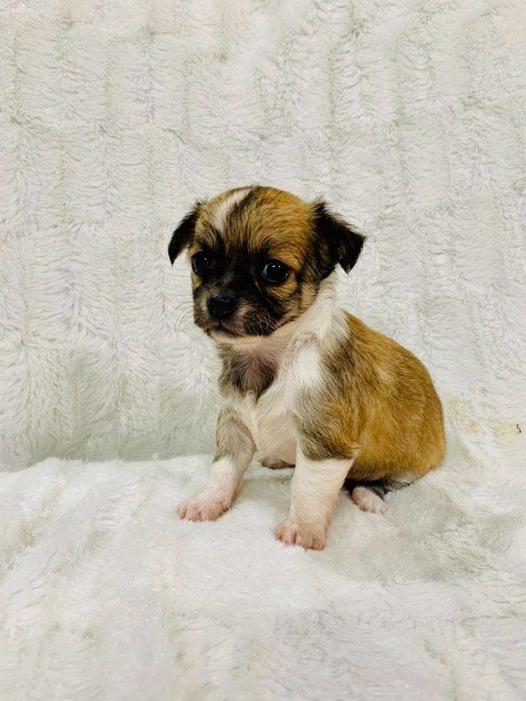 Teacup Chihuahua Puppy 0